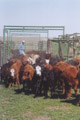 Hoffmann Ranch Branding, 2003 - The First Batch